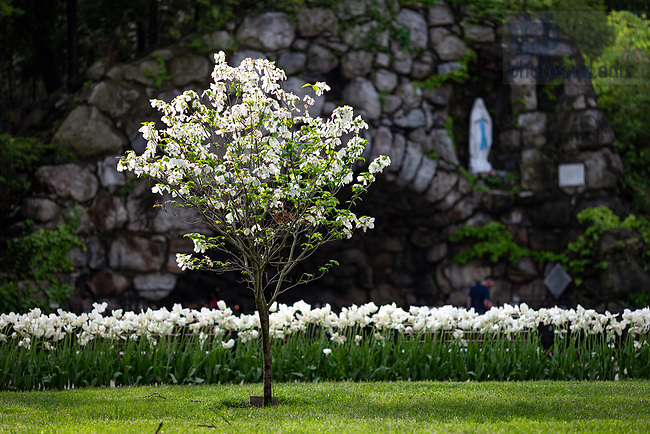 May 24, 2020; Flowering tree at the Grotto (Photo by Matt Cashore/University of Notre Dame)