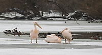 Pelicans sits on the iced over lake in St James' park as Beast from the East weather continues at City of London, London, England on 1 March 2018. Photo by Andy Rowland.