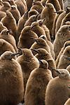 King Penguin downy chicks at Fortuna Bay on South Georgia Island.