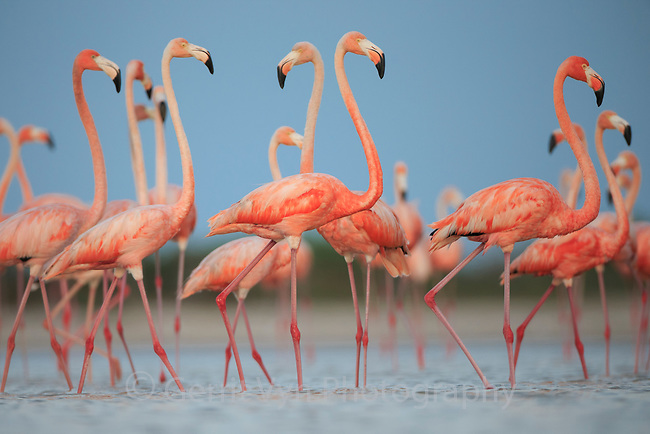 Adult American Flamingos (Phoenicopterus ruber) gathered near a nesting colony. Rio Lagartos Biosphere Reserve, Mexico. July.