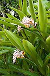 ALPINIA NUTANS (SYN. ALPINIA ZERUMBET), SHELL GINGER OR SHELL FLOWER