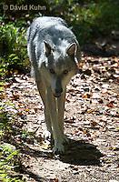 0823-1006  Gray Wolf (Grey Wolf), Canis lupus  © David Kuhn/Dwight Kuhn Photography