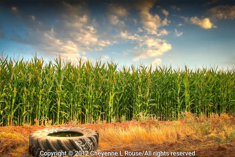 Old tractor tire in an Arizona cornfield.