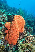Orange elephant ear sponge, Agelas clathrodes, Bonaire, Netherland Antilles, Netherlands, Caribbean Sea, Atlantic Ocean