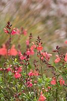 Salvia greggii 'Caviar' (Autumn Sage) pink red flower aromatic herb shrub in California garden, Cabrillo College