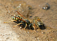 A truce at the watering hole between two sworn enemies, the hornet and the bee.