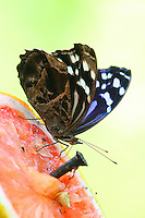 Mexican bluewing