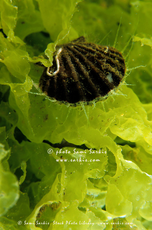 Scallop shell sitting on bright green seaweed.