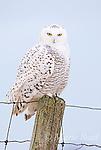 OWLS, NIGHTHAWKS