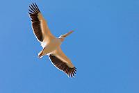 Great white pelican (Pelecanus onocrotalus), Soysambu Conservancy, Great Rift Valley, Kenya