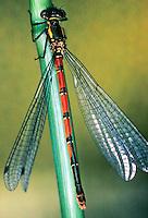 Frühe Adonislibelle, Adonis-Libelle, Weibchen, Pyrrhosoma nymphula, large red damselfly
