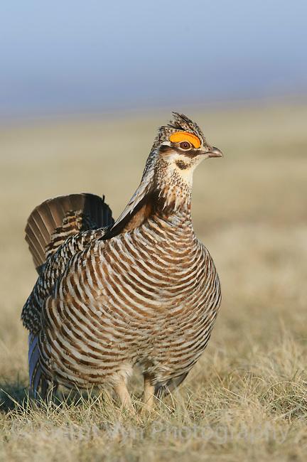 Male greater Prairie-Chicken (Tympanachus cupido) on lek. Ft. Pierre National Grassland, South Dakota. April.