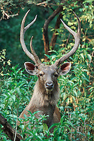 Indian Sambar (Cervus unicolor), Ranthambore National Park,India
