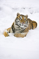 Siberian Tiger lying in the snow and watching quizically - CA