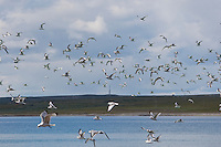 Dreizehenmöwe, Schwarm Jungvögel im Flug, Flugbild, fliegend, Dreizehen-Möwe, Dreizehenmöve, Möwe, Rissa tridactyla, kittiwake