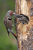 Northern Flicker feed its chicks