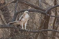 Changeable Hawk Eagle in Sasan Gir Forest, Gujarat, India