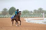 RIYADH, SA February 19 2021: ALBADRI (IRE) Track work from King Abddulaziz Racetrack, Riyadh, Saudi Arabia. Shamela Hanley/Eclipse Sportswire/CSM