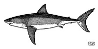 Great white shark, Carcharodon carcharias, lateral view, pen and ink illustration.