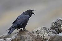 Kolkrabe, rufend, ruft, Kolk-Rabe, Kolk, Rabe, Corvus corax, common raven, northern raven, raven, Le Grand Corbeau