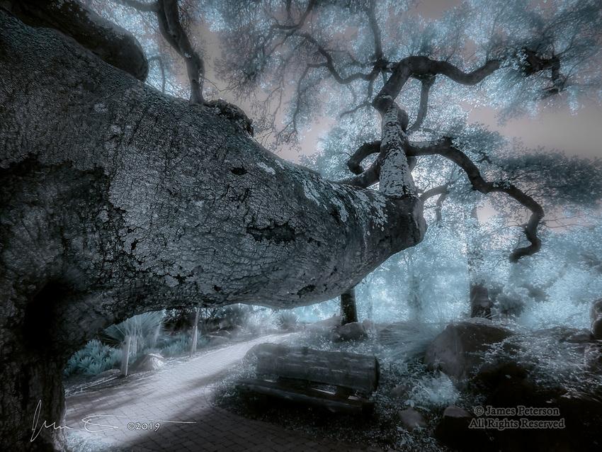 Trailside Oak, Santa Barbara Botanical Gardens (Infrared)<br /> <br /> Image ©2019 James D. Peters