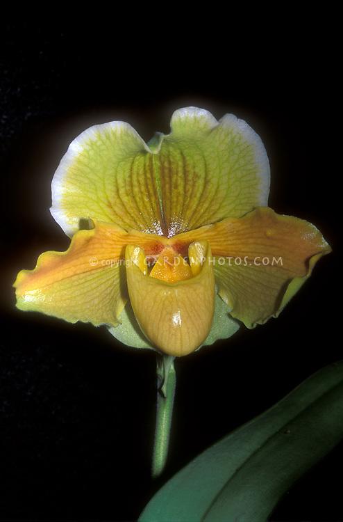 Paphiopedilum Halgwen (Complex Orchid Paph)