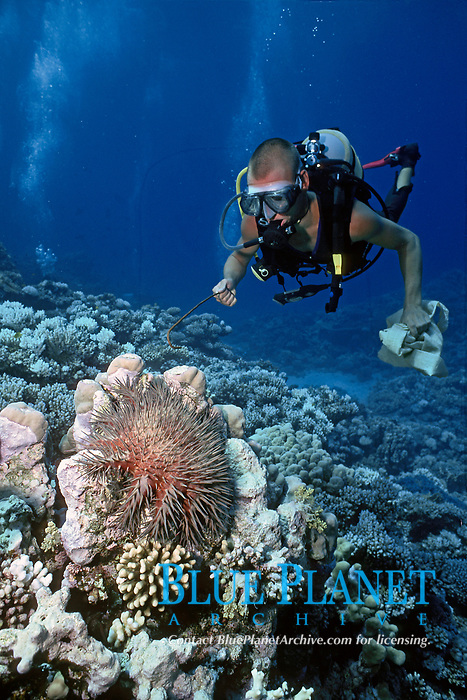 scuba diver removing crown of thorns sea star, Acanthaster planci, Quseir Red Sea