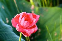 Lotus Flower at Yellow Waters, Kakadu National Park, Northern Territory