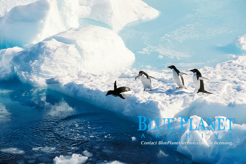 Adelie penguins, Pygoscelis adeliae, diving into the water, Cape Hallet, Antarctica