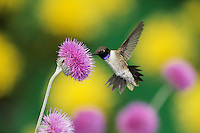 Black-chinned Hummingbird (Archilochus alexandri), male feeding on Texas thistle (Cirsium texanum), Dinero, Lake Corpus Christi, South Texas, USA