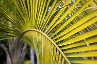 Leaf detail, Majesty Palm tree (Ravenea rivularis) in Southern California garden