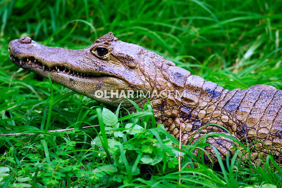Animais. Reptis. Crocodilos em cativeiro. Zoológico. RJ. Foto de Luciana Whitaker.