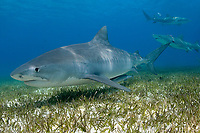 Large tiger shark, 14 foot, Galeocerdo cuvier, with lemon sharks, Negaprion brevirostris, in background. Little Bahama Bank, Bahamas, Atlantic