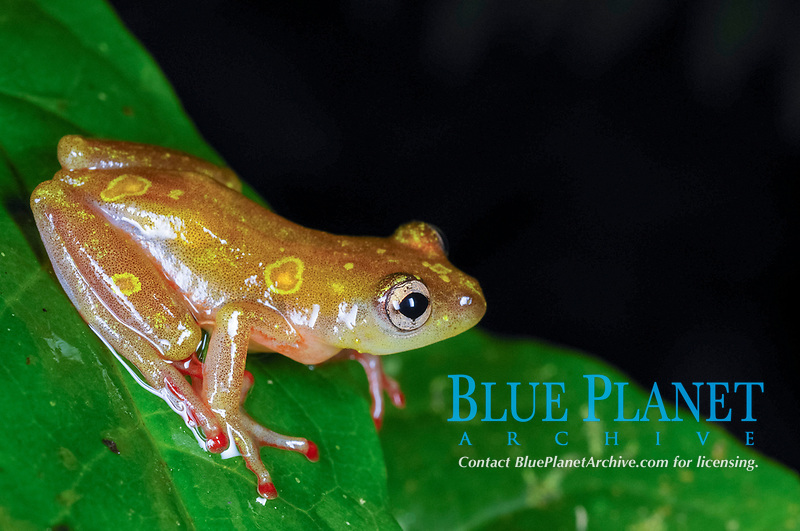 Montane Reed Frog (Hyperolius castaneus), adult, sitting on leaf in montane rainforest, Nyungwe Forest National Park, Rwanda, Africa