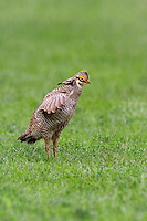 572110185 a wild lesser prairie chicken tympanuchus pallidicintus displays and struts on a lek on a remote ranch near canadian in the texas panhandle