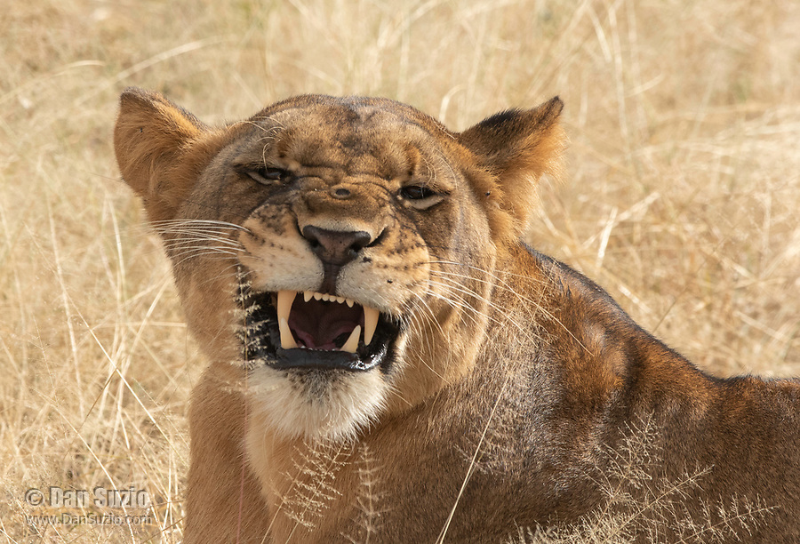 A snarling female Lion, Panthera leo  melanochaita, in Tarangire National Park, Tanzania