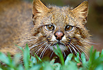 Like human fingerprints, the nose pads of cats differ by individual. Pampas cat, native to Pampas area of Argentina and Chile.