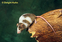 MU60-018z  Pet mouse - exploring