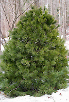 Pinus strobus Eastern White Pine in winter snow, popular Christmas tree evergreen conifer, live