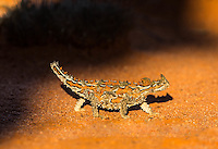 Thorny Devil in remote Neal Junction Nature Reserve, Western Australia