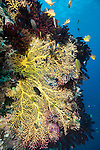 Anda, Bohol, Philippines; a large yellow sea fan is outlined by dark colored feather stars