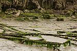 Long-billed Curlew (Numenius americanus) in mudflat, Elkhorn Slough, Monterey Bay, California