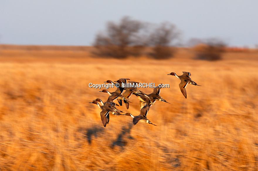 00300-025.04 Pintail Duck (DIGITAL) flock in flight low over cattails marsh.  Waterfowl, hunt, wetland, habitat, swamp, birding.  H1L1