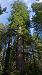 Old-growth Giant Redwoods at Redwood National Park, Northern California