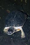 Blandings Turtle on the bottom