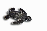 green sea turtle hatchling, Chelonia mydas, endangered species, Bahamas, Atlantic Ocean (c)