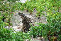 A deep trench, stone walled, in the vineyard of Collioure to lead off water in rain storms, Grenache vines in the vineyard, trained in Gobelet (goblet), Languedoc-Roussillon, France