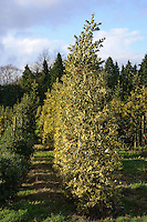 Ilex x altaclerensis 'Belgica Aurea'
