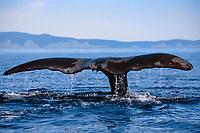 bowhead whale fluke, Balaena mysticetus, Okhotsk Sea ( N.W. Pacific Ocean )