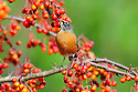 00980-021.13 American Robin pauses while feeding on crab apples.  Backyard, landscape, fruit, food, manage.